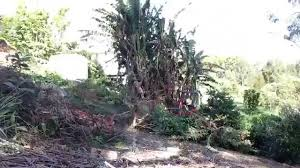 removing massive banana trees with a mini excavator time lapse