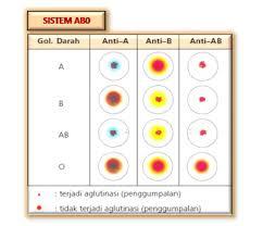 Serum Tes Golongan Darah aeegio ayye contoh laporan praktek golongan darah