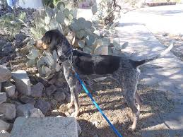 bluetick coonhound with cats southwest coonhounds and bloodhounds needing homes home facebook