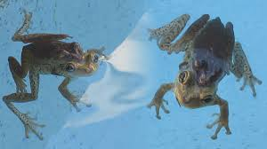 frogs mating in my pool how to avoid getting frogs in your pool