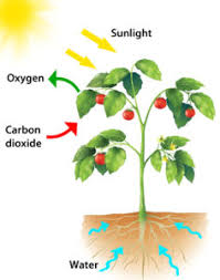 Light Independent Reactions Definition Photosynthesis For Kids