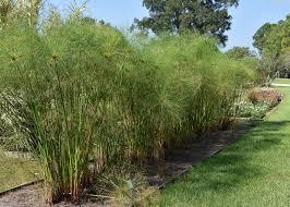 Mississippi landscapes images Ancient papyrus performs in mississippi gardens mississippi jpg