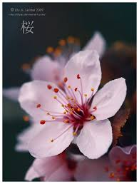 Japanese Flowers Pictures - best 10 japanese cherry blossoms ideas on pinterest cherry