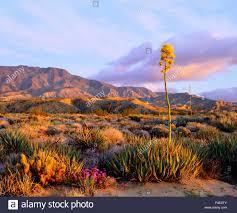 anza borrego wildflowers usa california anza borrego desert state park agave wildflowers