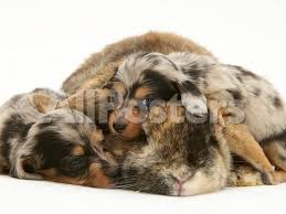australian shepherd dachshund silver dapple miniature dachshund puppies cuddled up with