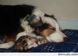 australian shepherd e gatto 128 best dogs cats images on pinterest animals adorable animals