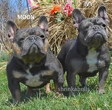 shrinkabull s blue ivy blue french bulldog