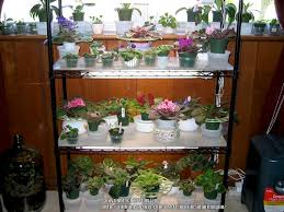 african violet grow light gesneriads forum all about african violets garden org