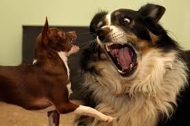 Border Collie Meme - chihuahua vs border collie x post from r animalsbeinganimals