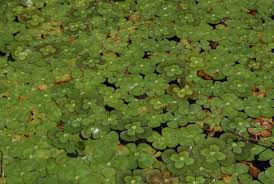 free picture invasive aquatic plant four leaf clover lily