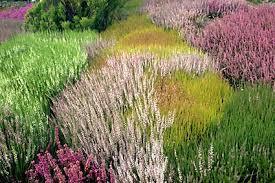 canula fiore lemiepiante enciclopedia dei fiori e delle piante