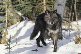 imagenes de fondo de pantalla lobos lobo negro montana fondos de pantalla fotos de lobo negro montana