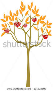 rowan tree stock images royalty free images vectors