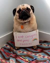 Dog Shaming Meme - dog shaming hilarious pictures of pet shaming at it s best