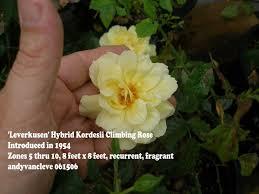 climbing and rambler roses sold in albany county ny by azalea