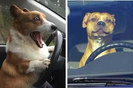 Dog In Car Meme - 16 reasons why we re pretty sure that driving dogs not driverless