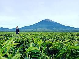 Teh Kayu Aro 5 kebun teh di indonesia dengan pemandangan keren nggak kalah dari
