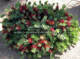 woody evergreen shrubs with small leathery leaves search