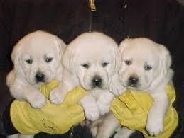 labrador retriever breeder lab breeders labrador puppies sale