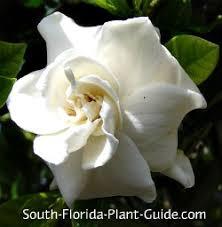 Fragrant Plants Florida - gardenia bush
