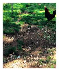 Backyard Chicken Blogs by Backyard Chickens When You Can U0027t Have Anything Nice Pajamas