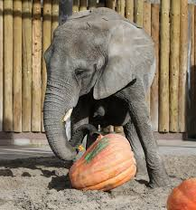 photos hogle zoo animals enjoy their own feast on thanksgiving