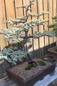 bonsai australian native plants himalayan cedar bonsai trees