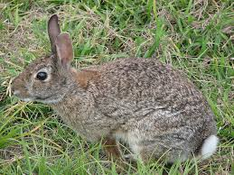 rabbit hunters take note steps to avoid tularemia outdoorhub com