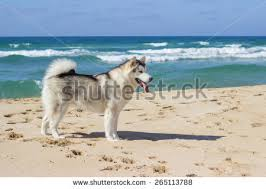 north american eskimo dog association eskimo dogs stock images royalty free images u0026 vectors shutterstock