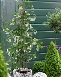 star jasmine u2022 trachelospermum jasminoides u2022 confederate jasmine