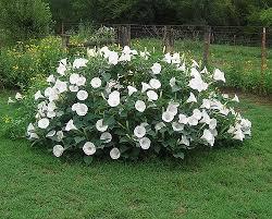 Plant Flower Garden - best 20 moon garden ideas on pinterest moon flower plant moon