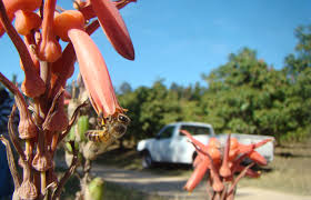 melbourne native plants patches of native plants help boost pollination services in large