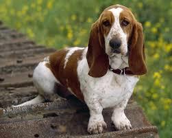 belgian sheepdog hound basset hound dog breed standards