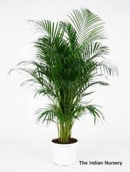 areca palm bushy decorative plants palm tree the indian nursery
