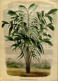 native rainforest plants astrocaryum murumuru circa 1871 native to the amazon