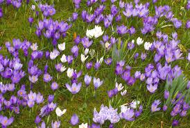 free image of crocus flowers in spring