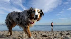 australian shepherd off leash off leash dog beaches vet joins protest illawarra mercury