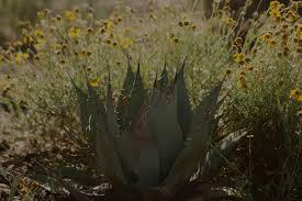 tucson native plants native and arid adapted plant design u2014 ecosense sustainable landscapes