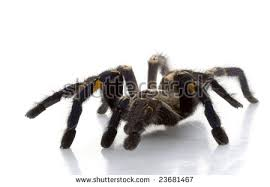 poecilotheria metallica stock images royalty free images