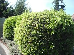 native plants of pacific northwest plants as screens hedges and hedgerows habitat horticulture pnw