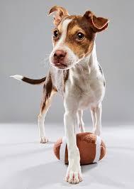 double j ranch australian shepherds 2017 puppy bowl starting lineup si com