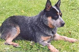australian shepherd eyesight australian cattle dog pictures diet breeding puppies facts