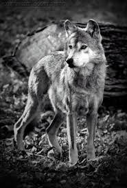 canis lupus baileyi gray wolf