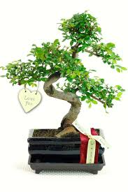 twiggy valentine u0027s indoor bonsai tree gift