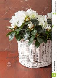 beautiful white azalea flowers in basket over rustic background