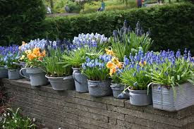 growing bulbs in outdoor containers garden bulb blog flower
