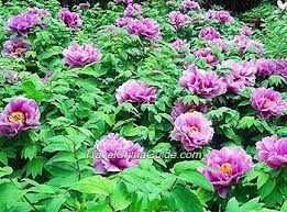 china national flower garden peony park luoyang