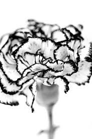 25 beautiful carnation tattoo ideas on pinterest carnation