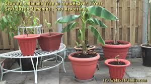 mini banana tree how to grow banana trees in the uk over 1 year including