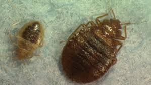 What Kills Bed Bugs And Their Eggs Ddt Repeal Would Do Nothing To Combat Bed Bugs Experts Say
